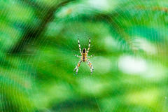 Common American House Spider in Web Stock Photos