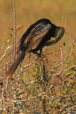 Common Anhinga Grooming. A Common Anhinga Grooming in the Florida Everglades Royalty Free Stock Photography