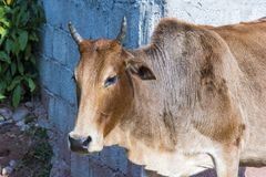 A Cow portrait. A common animal known as a farm animal in Pakistan and holy animal in India stock image