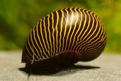 Aquarium algae eater snail Turrita Zebra Snail Neritina turrita. Common Aquarium snail usefull algae eater snail Turrita Zebra Snail Neritina turrita Royalty Free Stock Photo