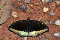 Common archduke butterfly. Of thailand background Royalty Free Stock Images