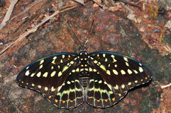 Common archduke butterfly. Of Thailand background Royalty Free Stock Photo