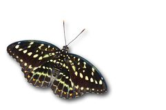Common archduke female. Butterfly isolated on white Stock Images
