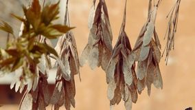 Common ash Fraxinus excelsior dry seeds shaking on wind stock video