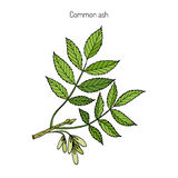 Common Ash Tree Branch. With Leaves. Botanical vector illustration royalty free illustration