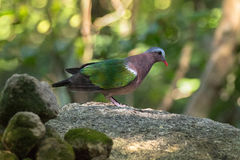 Common Asian grey-capped emerald dove pigeon bird in green stand Royalty Free Stock Photography