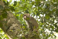Common asian monkeys  Stock Image