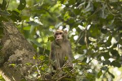 Common asian monkeys  Royalty Free Stock Images