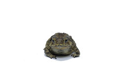 Common. Asian common toad on white background Stock Images
