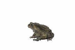 Common. Asian common toad on white background Stock Photo