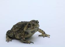 Common. Asian common toad on white background Stock Photos