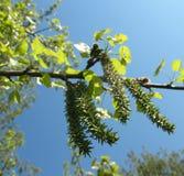 Common aspen or trembling poplar. (Populus tremula Stock Photos