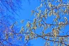 Common aspen or trembling poplar ( Populus tremula). Wild trees of Siberia during flowering - Aspen ordinary or poplar trembling (Latin name Populus tremula Royalty Free Stock Photos