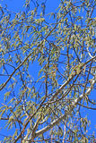 Common aspen or trembling poplar ( Populus tremula) Royalty Free Stock Images
