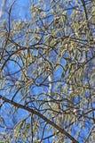 Common aspen or trembling poplar ( Populus tremula). Wild trees of Siberia during flowering - Aspen ordinary or poplar trembling (Latin name Populus tremula Stock Photos