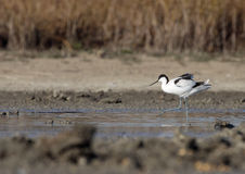 Common avocet Stock Photo