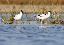 Common avocet Royalty Free Stock Photos