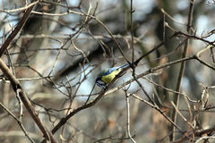 Common azure. On a branch in a spring garden. Tit Stock Images
