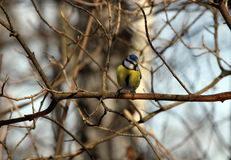 Common azure. On a branch in a spring garden. Tit Royalty Free Stock Image