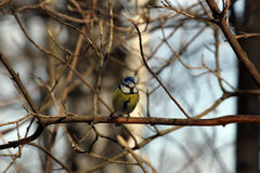Common azure. On a branch in a spring garden. Tit Royalty Free Stock Images