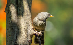 Common Babbler resting under a tree. Royalty Free Stock Images