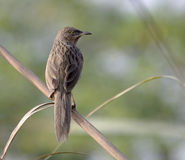 Common Babbler (Turdoides caudatus) Royalty Free Stock Photography