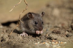 Common baby rat. Stock Photos