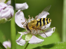Common Banded Hoverfly. Syrphus ribesii Stock Images