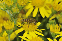 Common Banded Hoverfly Stock Photography