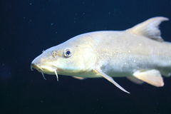 Common barbel. The adult common barbel in water royalty free stock image