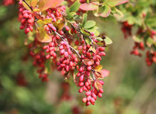 Common barberry Royalty Free Stock Photography
