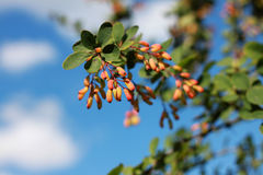 Common barberry & x28;Berberis vulgaris& x29; is particularly decorative i Royalty Free Stock Photos