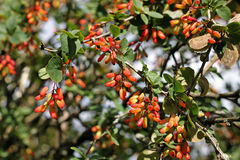 Common barberry & x28;Berberis vulgaris& x29; is particularly decorative i Stock Photo