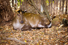 Common Barking Deer Stock Photo
