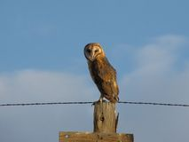 Common Barn Owl. A Common Barn Owl or Tyto alba Stock Images