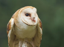 Common barn owl Stock Photos