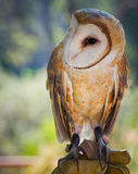 Common Barn Owl. The Barn Owl (Tyto alba) is the most widely distributed species of owl, and one of the most widespread of all birds. It is also referred to as Royalty Free Stock Images