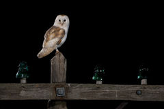Common Barn Owl Royalty Free Stock Photos