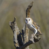 Common Barn Owl Stock Photo