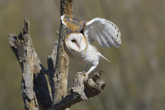 Common Barn Owl Stock Images