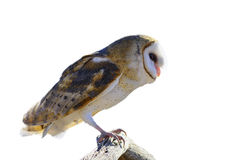 Common Barn Owl Royalty Free Stock Photos