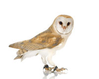 Common Barn Owl (4 mounths) stock photos