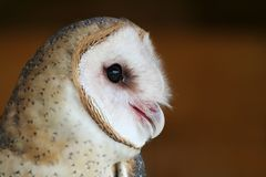 Common Barn Owl. Profile of a Common Barn Owl with a brown background Stock Photos