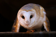 Common barn owl Stock Image