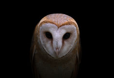 Common barn owl in the dark Royalty Free Stock Image