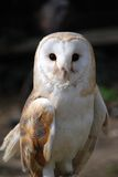Common barn owl, England Stock Photography