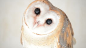 Common barn owl head close up stock video footage