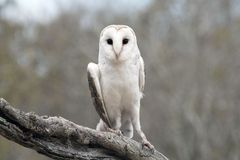 Common Barn Owl (Tyto alba) Stock Photos