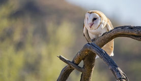 Common barn owl Tyto alba Stock Photography