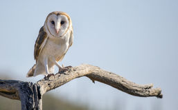Common barn owl Tyto alba  2 Stock Images